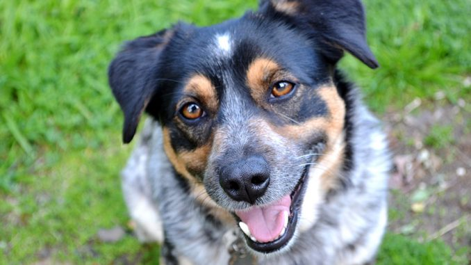 Smiling dog photo by Spadey09 under Creative Commons from Flickr. 19 July 2017