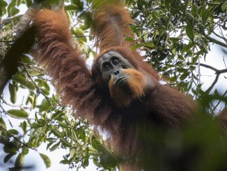 A new species of orangutan has been identified in Sumatra. The Tapanuli orangutan has been is criticallt endangered; only 800 are believed to exist. Photo by Maxime Aliaga for the Sumatran Orangutan Conservation Program. 3nov2017