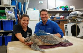 Once at death's door, high-tech turtle heads back out to sea