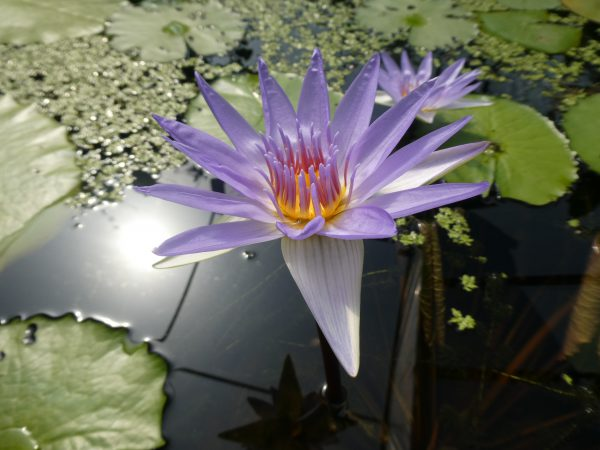 flower from giant lily pads